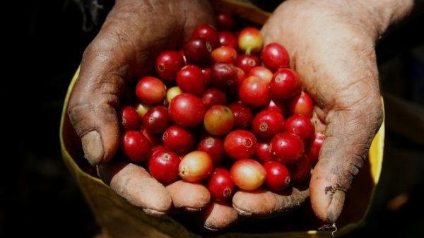 Giá cà phê hôm nay (28/11) tiếp tục phục hồi ngày thứ hai liên tiếp