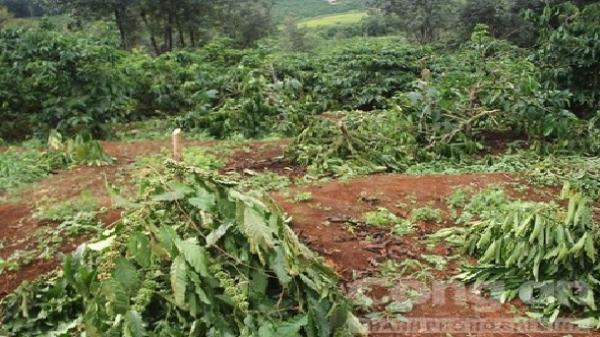Ia Grai, Gia Lai: Gần 300 cây cà phê bị kẻ xấu phá hoại