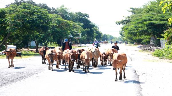 Krông Pa: Tập trung phòng - chống dịch bệnh lở mồm long móng trên đàn gia súc