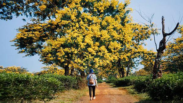 Ngẩn ngơ ngắm mùa thu vàng rực rỡ trên đồi chè Bàu Cạn nức tiếng đất Tây Nguyên