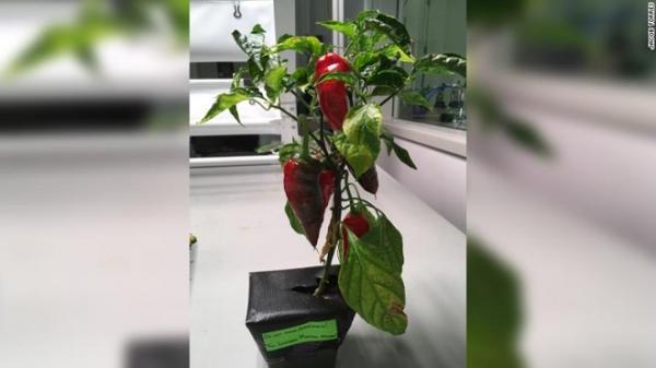 Phi hành gia trên trạm vũ trụ ISS sẽ trồng ớt để nạp vitamin?