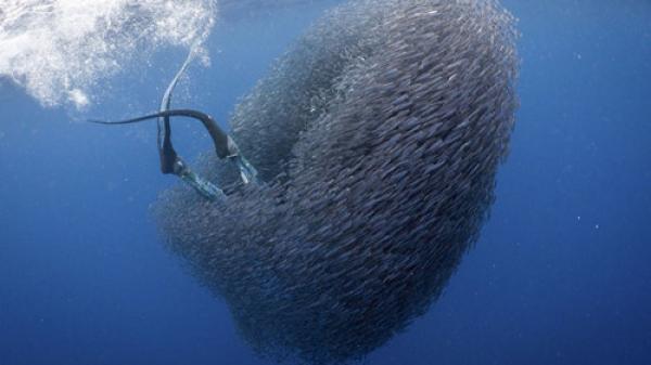 """Kinh dị khoảnh khắc thợ lặn bị đàn cá nhỏ """"nuốt chửng"""""""