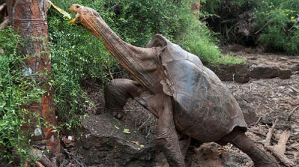 """""""Cụ rùa"""" khổng lồ 100 tuổi gây sửng sốt vì khả năng sinh sản cao"""