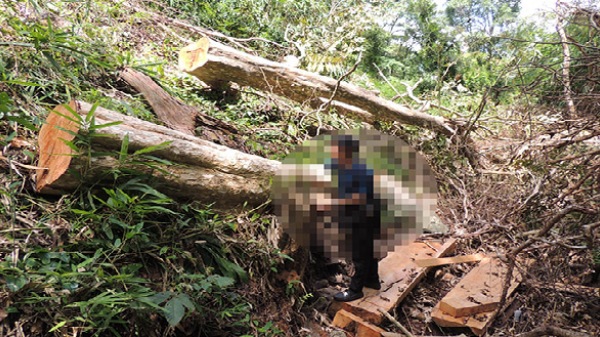 Gia Lai: Rừng của Chư Glong bị xẻ thịt chớp nhoáng