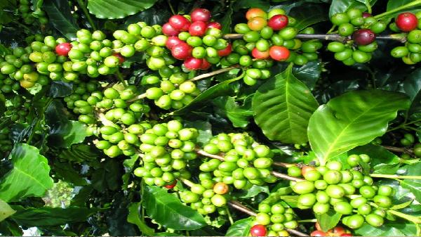 Giá cà phê hôm nay (9/10) lặng sóng, giá hồ tiêu duy trì ở mức trung bình 80.000 đồng/kg