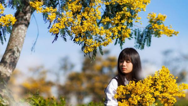 """Đẹp đến """"nghẹt thở"""" màu hoa muồng vàng nở rộ một góc trời ở nông trường Bàu Cạn Gia Lai"""
