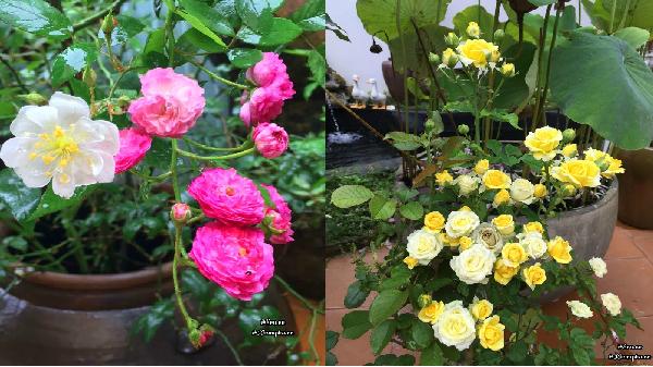 Mê mẩn vườn hoa hồng tuyệt đẹp trồng toàn trong chum của mẹ Gia Lai