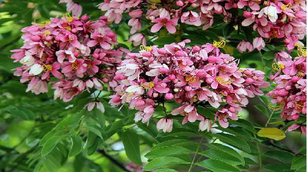 Muồng hoa đào - loài hoa đẹp bắt nguồn từ Đông Nam Á