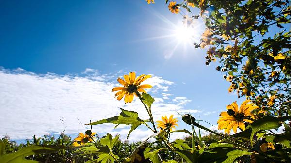 Ngắm mùa dã quỳ vàng rực trong nắng Gia Lai