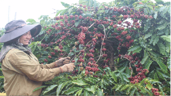 Nhộn nhịp mùa thu hoạch cà phê