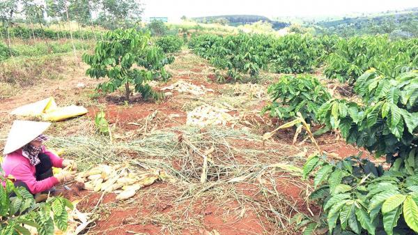 Chư Sê: Lấy đất tái canh cao su để trồng xen cà phê