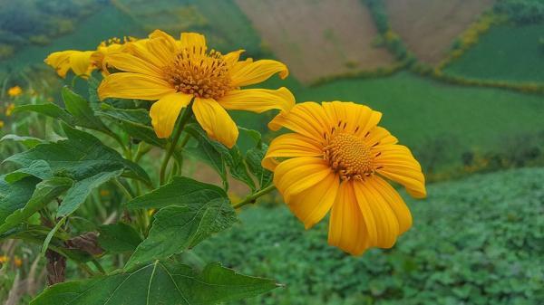 """(HOT HOT) Mùa lễ hội hoa dã quỳ ở Gia Lai đã tới: Bật mí những góc """"sống ảo"""" tuyệt đỉnh trong sắc vàng rực của hoa"""