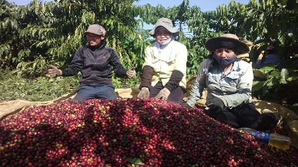 Giá cà phê giảm mạnh, nông dân tích trữ