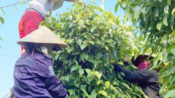 Gia Lai: Giá hồ tiêu bấp bênh, nông dân băn khoăn nên bán hay giữ lại