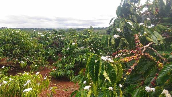 Gia Lai: Nông dân điêu đứng khi cà phê trổ hoa sớm