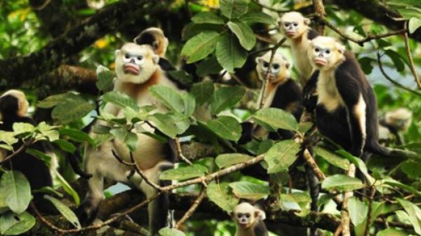 Khám phá thú vị loài voọc mũi hếch chỉ có ở Việt Nam