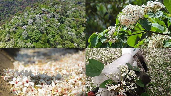 Dịp lễ dài, ngần ngại gì mà không tới Cao nguyên đá Đồng Văn (Hà Giang) ngắm mùa hoa trẩu trắng