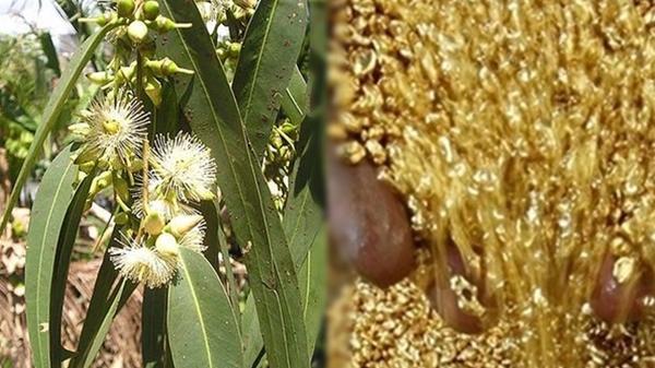 Phát hiện bất ngờ cây MỌC ra VÀNG đầy đường tại Việt Nam, kiếm bạc tỷ/ngày là chuyện đơn giản như muỗi!