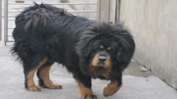Kinh hãi: Chó Ngao Tây Tạng cắn bé 8 tháng tuổi tử vong