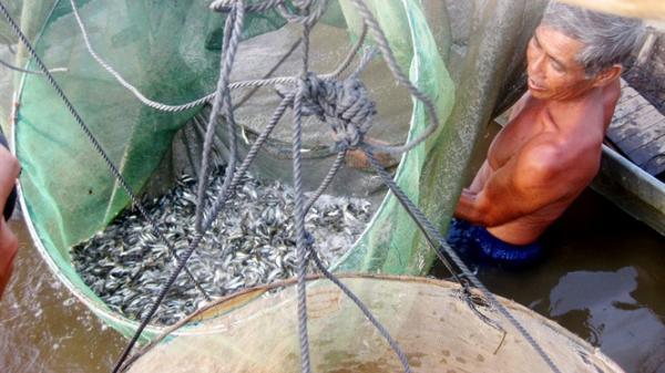 Miền Tây: Cá linh 300.000 đồng/kg vẫn không đủ bán