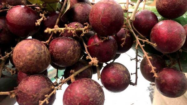 Vườn nhãn tím độc lạ ở miền Tây, người trồng bán cả cây lẫn quả