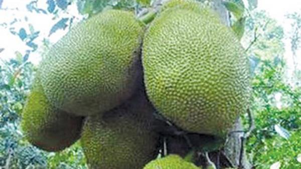 Hậu Giang: Nhiều nông dân thu nhập tiền tỷ nhờ mít Thái