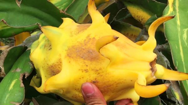 Kỳ lạ vườn thanh long trái màu vàng ở miền Tây có giá hàng tỷ đồng