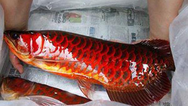 Lão nông dân bắt được cá rồng 1,6m đỏ như máu, chôn vội không dám ăn vì cực thiêng