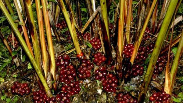 Thảo quả Hoàng Su Phì (Hà Giang) rộn ràng mùa thu hoạch