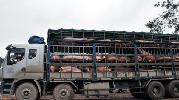 Tắc đường sang Trung Quốc, hàng triệu tấn lợn lo ế nặng