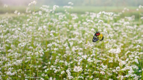 Em ơi đông chạm ngõ, nghe mùa hoa tam giác mạch mơn man gọi về...