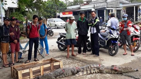 Hộ dân ở Hải Dương chở lượng lớn cá sấu bày bán, người dân hiếu kỳ vây xung quanh