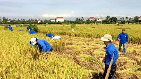 Thanh niên tình nguyện giúp nông dân Thanh Hà thu hoạch lúa