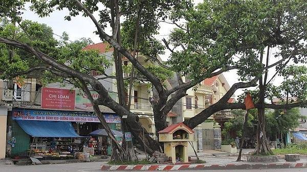 Ngã tư 'tử thần' và câu chuyện hiển linh của cây đa trăm tuổi ở Hải Dương