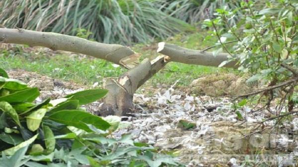 Hải Dương: 355 cây ăn quả của người dân bị kẻ xấu chặt phá