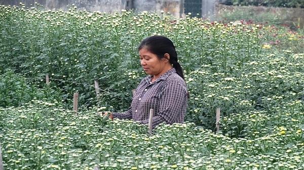 Hải Dương: Nông dân Kim Đính thu hơn 20 tỷ đồng từ hoa Tết