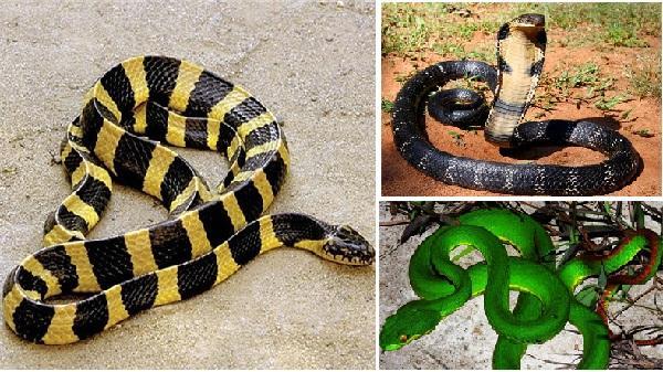 11 loài rắn cực độc ở Việt Nam: Hổ mang chúa chưa là gì