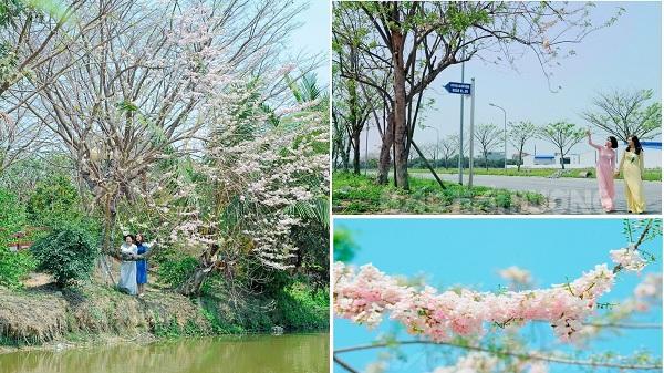 Chẳng cần đi đâu xa, gần ngay Hưng Yên cũng có thể CHECK-IN và ngắm hoa anh đào tuyệt đẹp