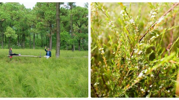 Cây rễ - Nét đặc trưng độc đáo của quê hương Chí Linh, Hải Dương