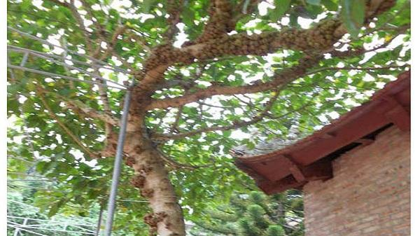 Khám phá khu rừng cổ độc đáo tại Chí Linh