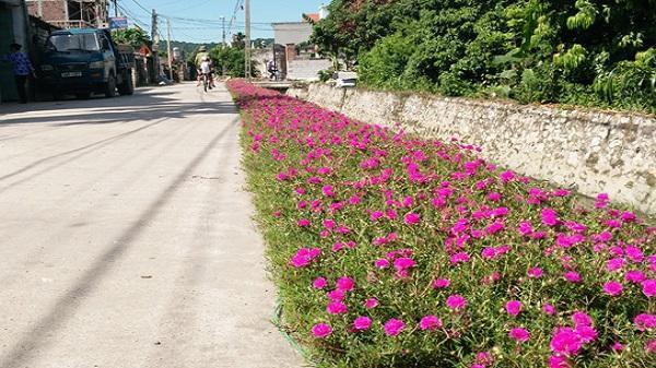 """Ngỡ ngàng """"con đường hoa"""" rực rỡ sắc màu tại Hải Dương"""