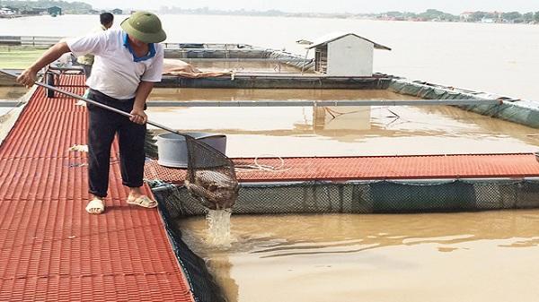 Lũ lên, cá lồng ở Nam Đồng chết nhiều