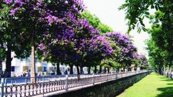 Có một mùa khắp đường phố Hà Nội nhuộm toàn sắc tím mộng mơ khiến ai đi qua cũng ngẩn ngơ ngắm nhìn