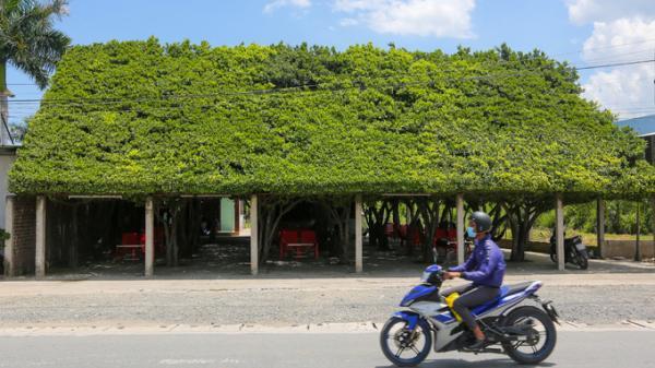 Quán cà phê được tạo từ 30 cây si ở Long An hút khách đi đường