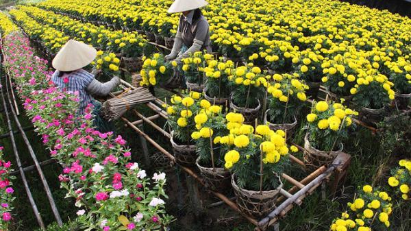 CẬN CẢNH làng hoa Chợ Lách (Bến Tre) đang nô nức vào vụ