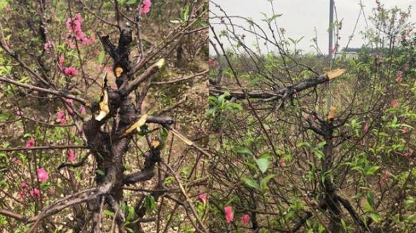 Xem Việt Nam đá Yemen, 11 gia đình bật khóc vì kẻ ác c hặt p.há 147 cây đào bán tết