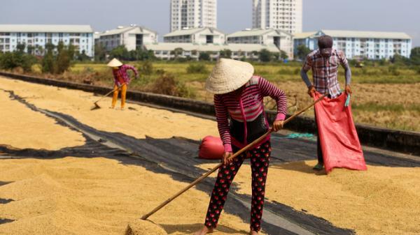 Người dân Trà Vinh và các tỉnh miền Tây lên Sài Gòn gặt lúa thuê kiếm tiền tiêu Tết
