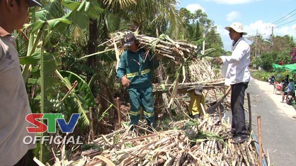 Sóc Trăng: Cù Lao Dung thu hoạch mía sau Tết vẫn gặp nhiều khó khăn