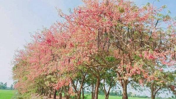 Đến hẹn lại lên, hoa ô môi hồng lại nở rực rỡ khắp nẻo đường quê ở miền Tây