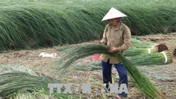 Trà Vinh: Bà con trồng lác ''mừng ra mặt'' vì cho lợi nhuận gần 200 triệu đồng/ha/năm